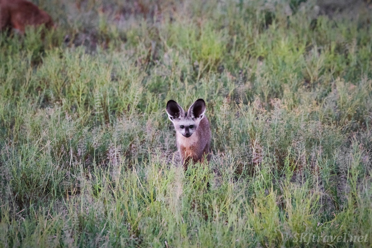 Bat eared fox popping up in the middle of a grassy field in the rainy wet season, Central Kalahari Game Reserve, Botswana.