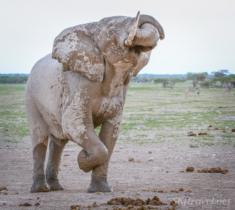 Elephant with one tusk lifts his leg and trunk, performing at a waterhole in the Nxai Pan, Botswana.