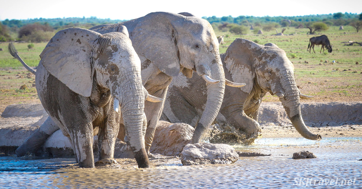 Three elephants drinking at a waterhole in the Nxai Pan, Botswana.