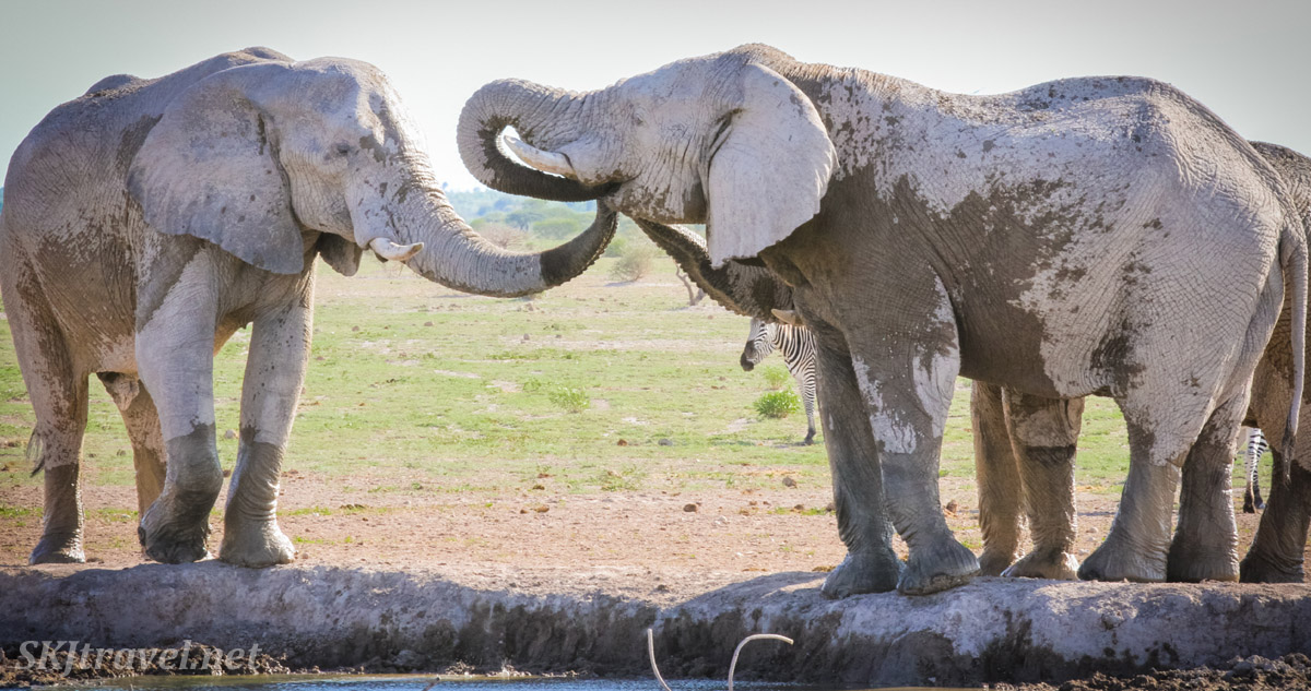 Three elephants at a waterhole in the Nxai Pan, Botswana, two want what the other one's got.