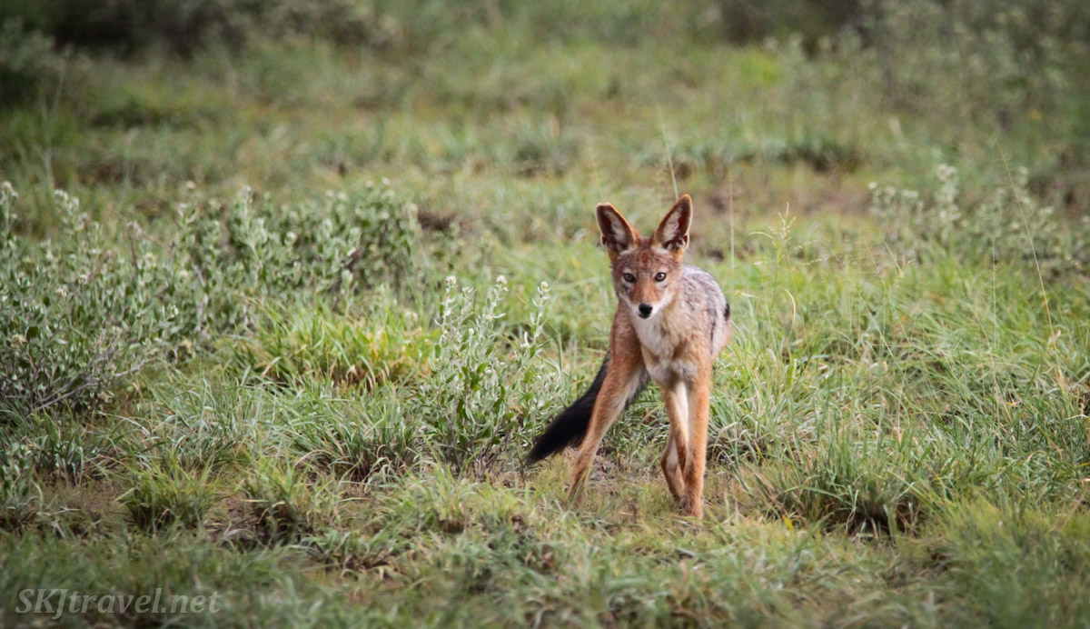 Black backed jackal, Central Kalahari Game Reserve, Botswana, in the wet green season.