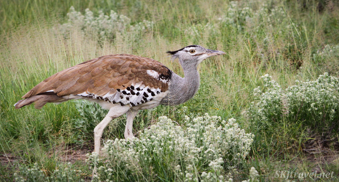 Kori bustard walking through tall grass, Central Kalahari Game Reserve, Botswana. Among flowering shrubs in green rainy season.