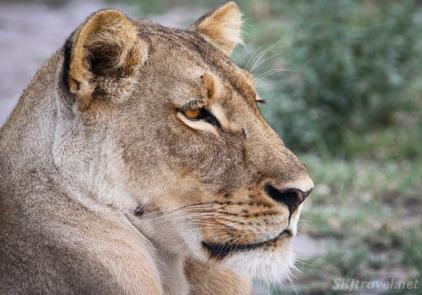 Lioness in the Nxai Pan, Botswana.