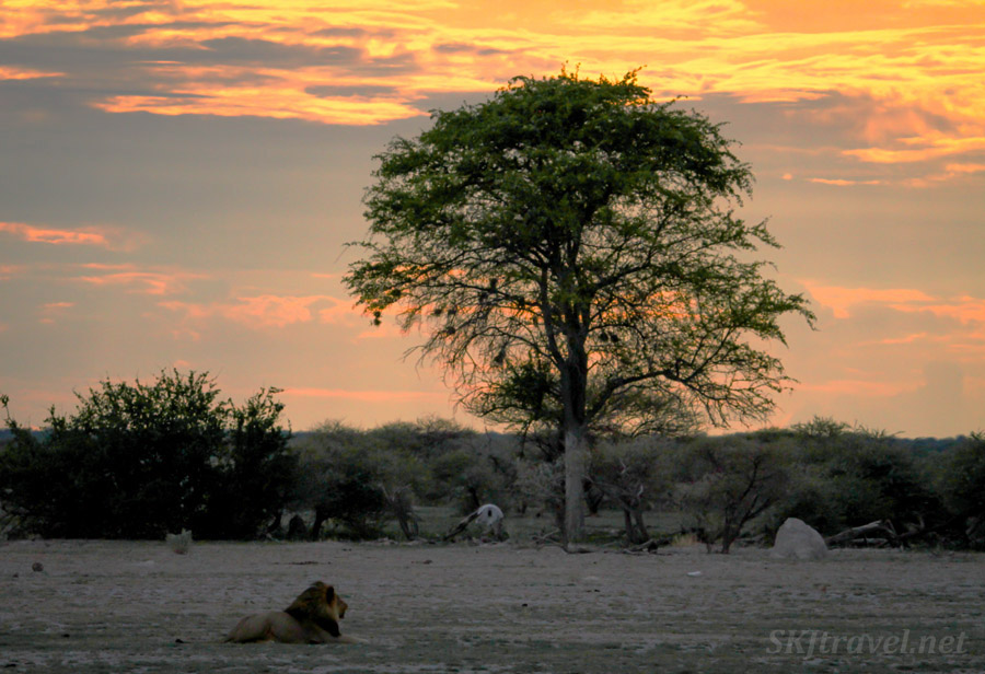 Lone male lion watches the sunset at the Nxai Pan, Botswana.