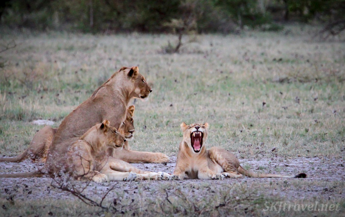 Young lion in a big yawn. Nxai Pan, Botswana.