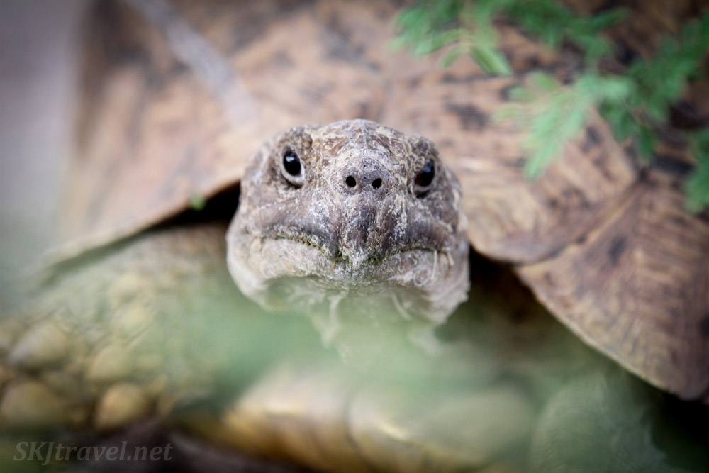 Leopard tortoise peering through the bushes, Central Kalahari Game Reserve, Botswana.