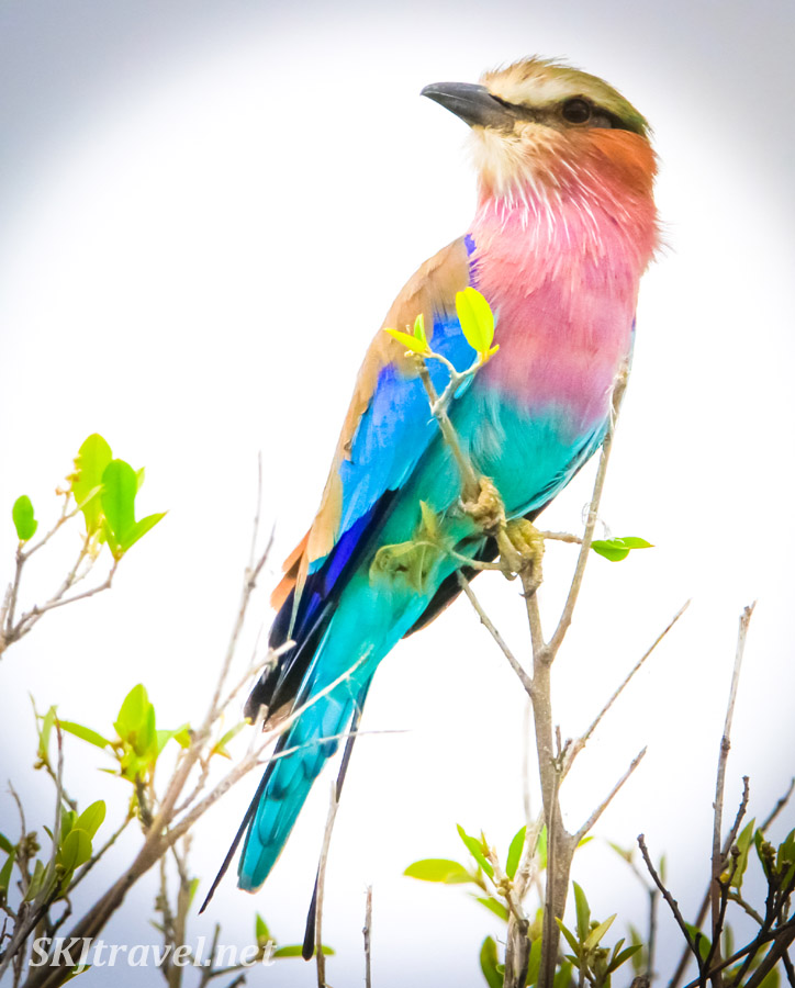 Lilac breasted roller, Etosha National Park, Namibia.
