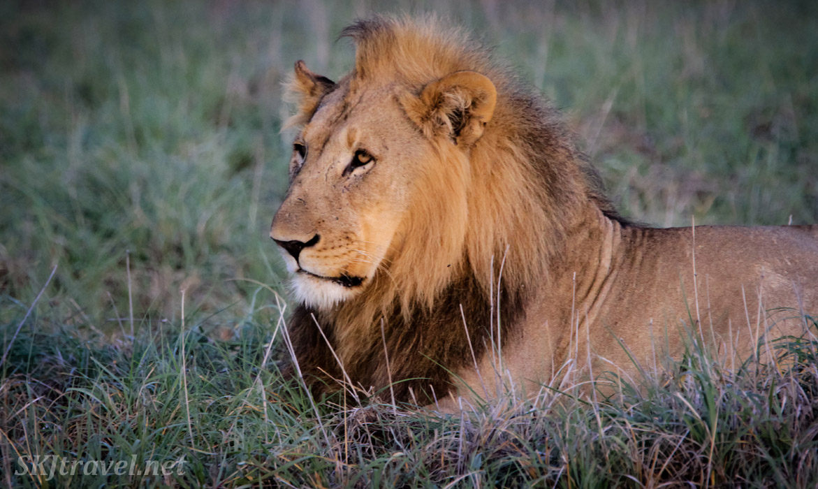 Male lion at dawn, Etosha National Park, Namibia.