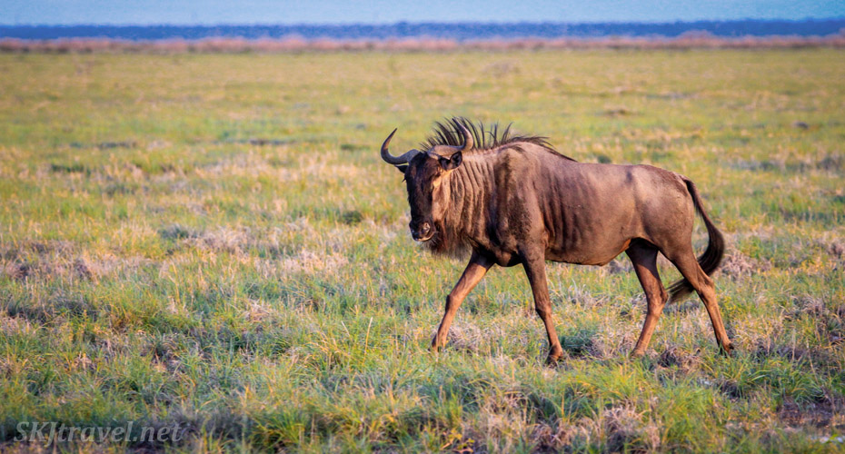 Wildebeest in the pre-dawn. Etosha National Park, Namibia.