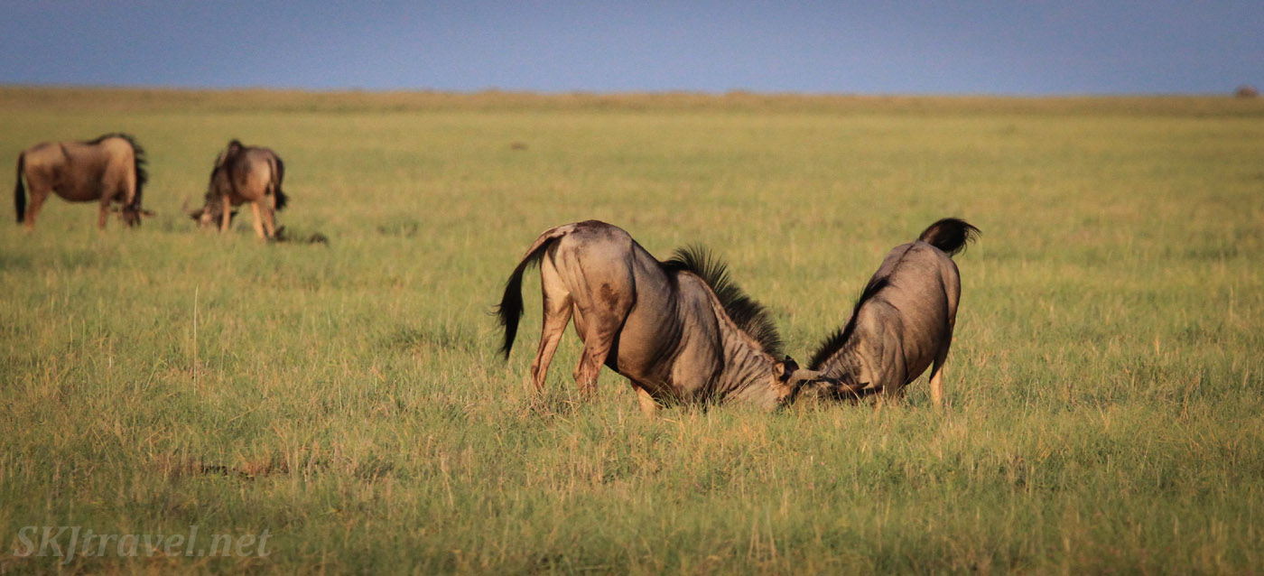Wildebeest locking horns in the pre-dawn. Etosha National Park, Namibia.