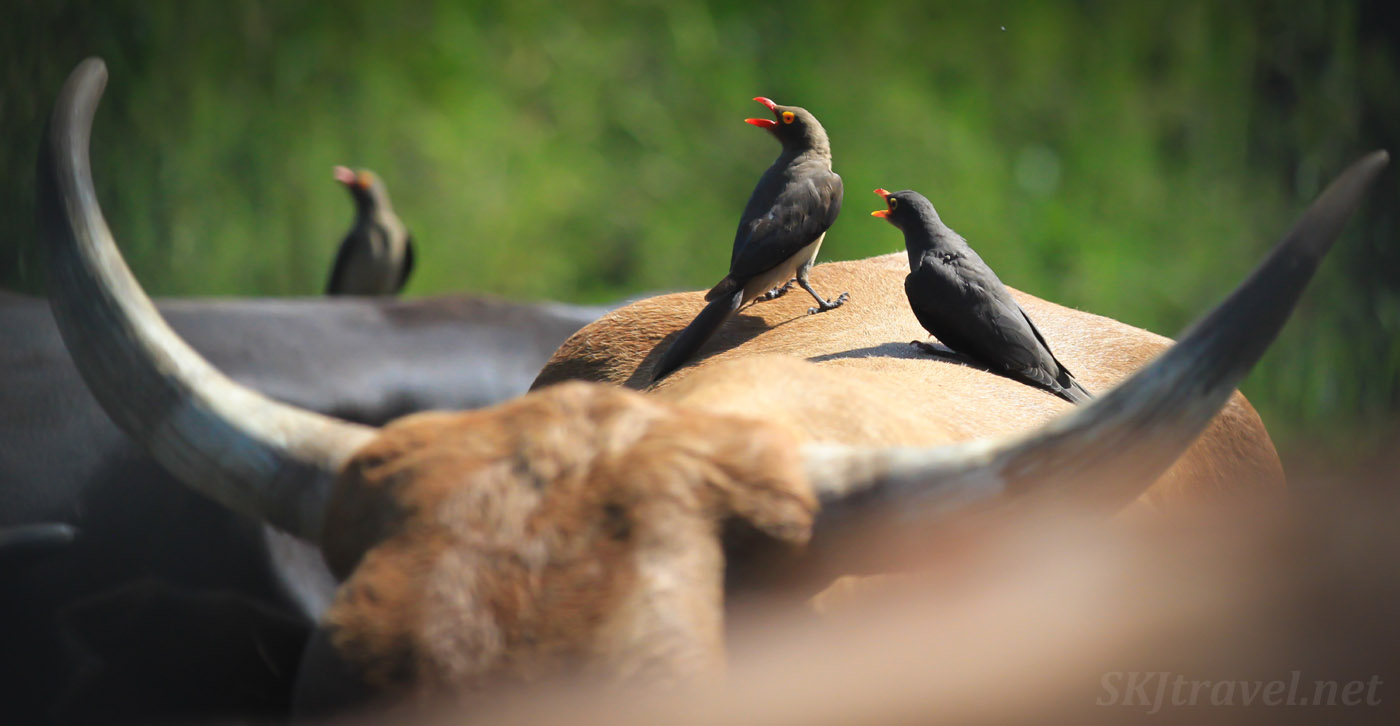 Oxpeckers on a cow. Kake Village, Kavango East, Namibia.