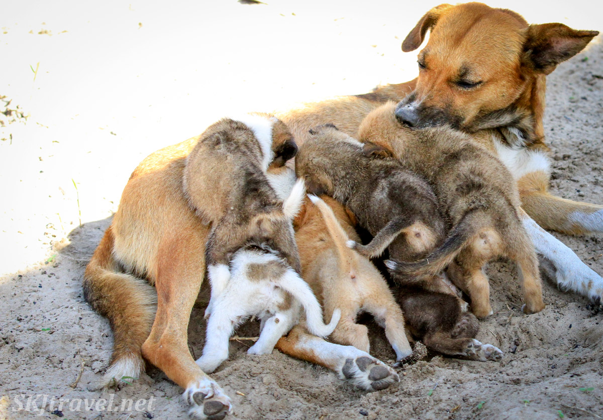 Mother dog with nursing puppies. Kake Village, Kavango East, Namibia.