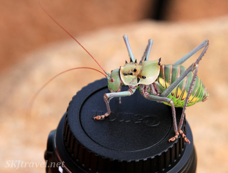 Corn cricket on my camera lens. Namibia.
