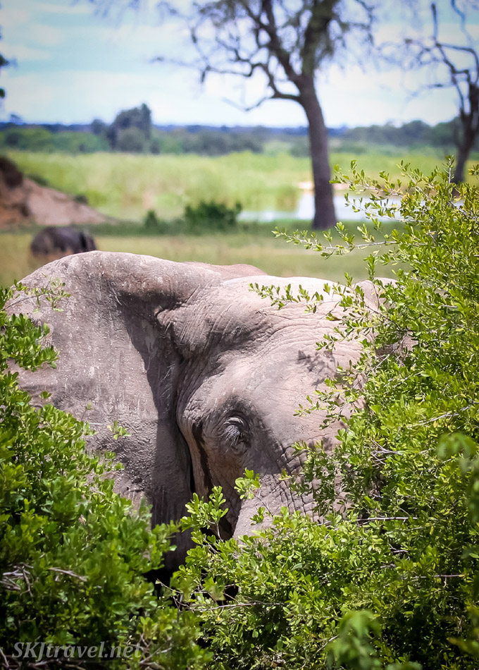 Elephant spying through the bushes at Bwabwata National Park, Namibia.