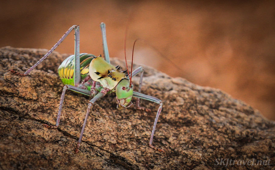 Corn cricket, Namibia.