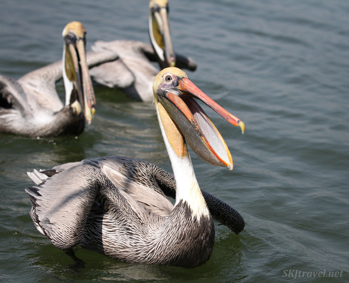Adult brown pelicans on the water. Barra de Potosi, Zihuatanego, Mexico.