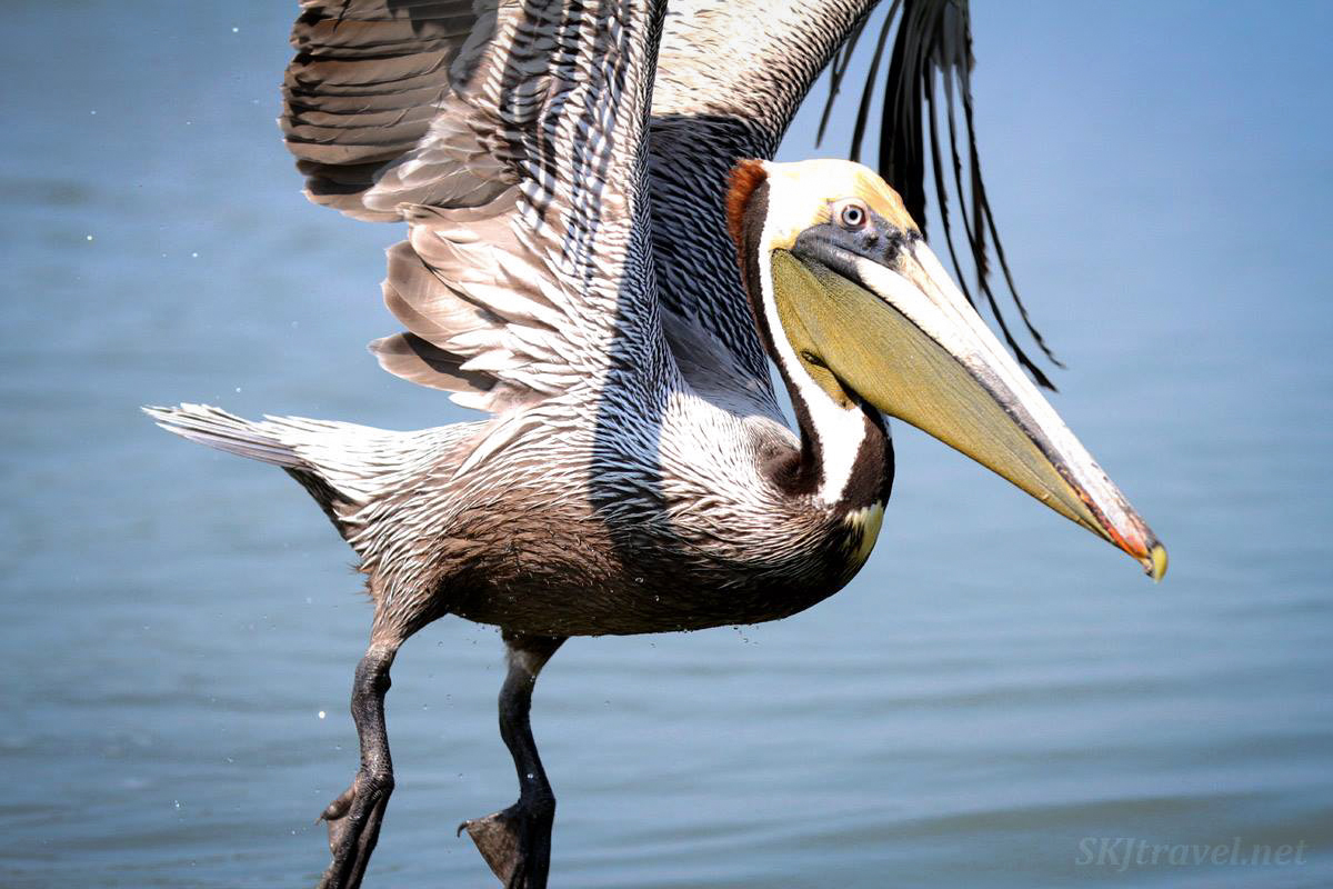 Adult brown pelican in flight next to our boat at Barra de Potosi, Zihuatanejo, Mexico.