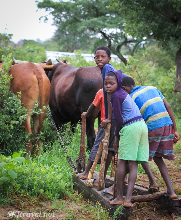 Children showing how to work the fields with their cows, northern Namibia.