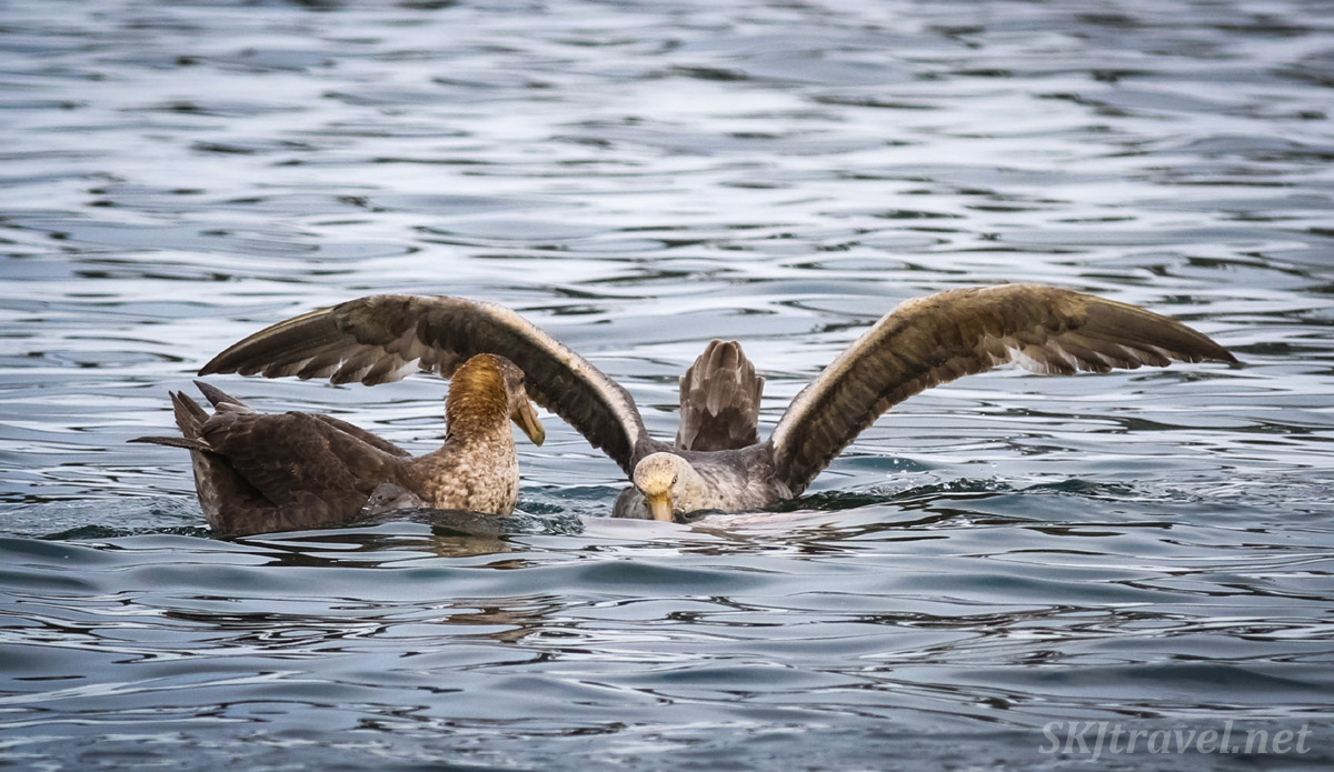 Southern giant petrels finding a meal in the waters around Spert Island, Antarctica.