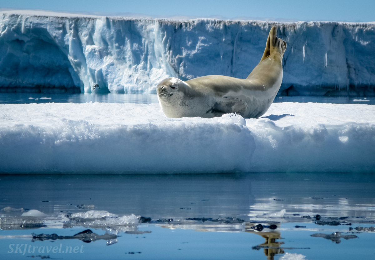 Seal in a perfect pose on an iceberg. Antarctica.