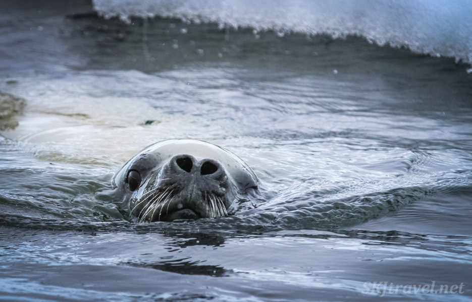 Seal surfacing, nostrils open for air, Wilhelmina Bay, Antarctica.