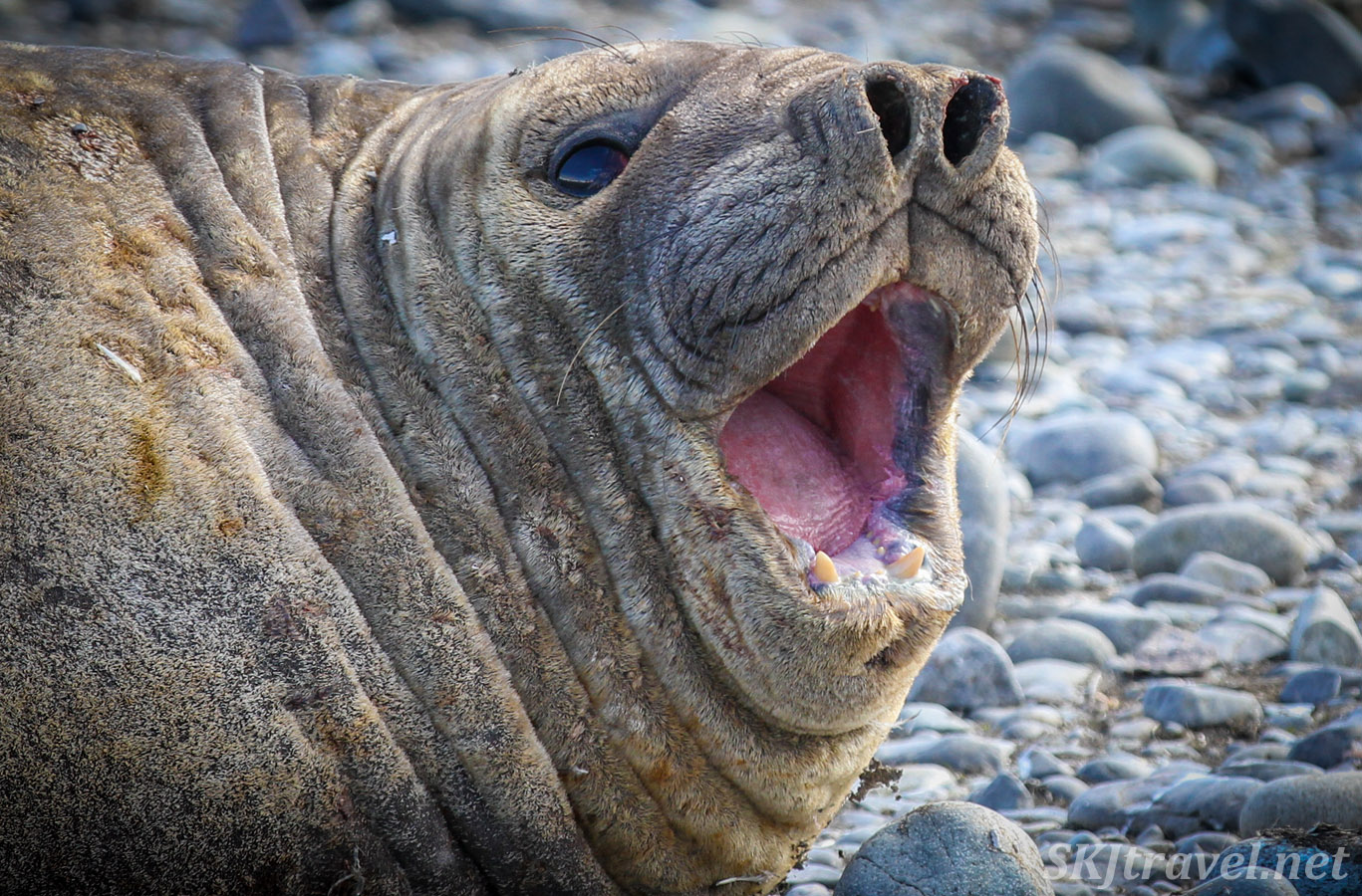 Young male elephant seal on the beach, Yankee Harbour, Antarctica.