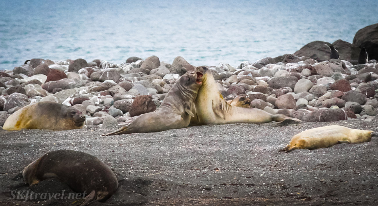 Young male elephant seals fighting. Penguin Island, South Shetland Islands.
