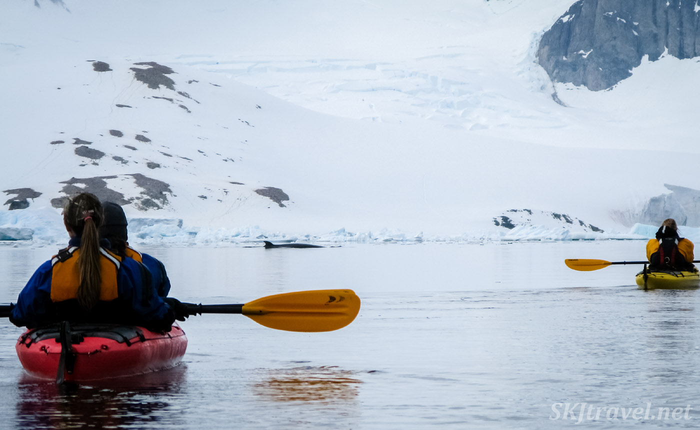 Minke whale circling our kayaks at Cuverville Island, Antarctica.