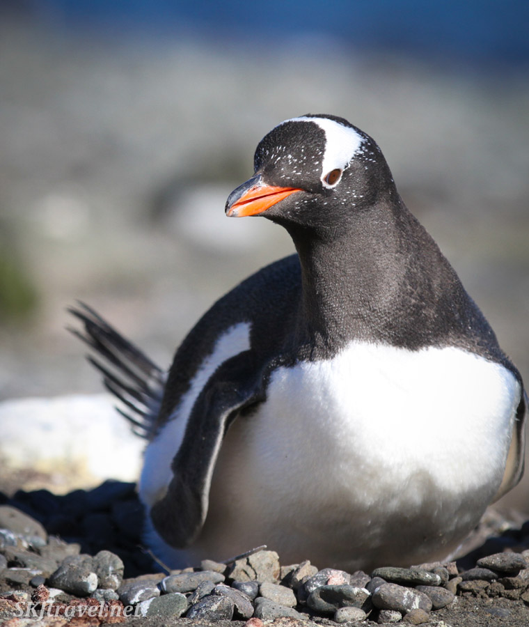 Gentoo penguin sitting serenely on its nest. Antarctica.