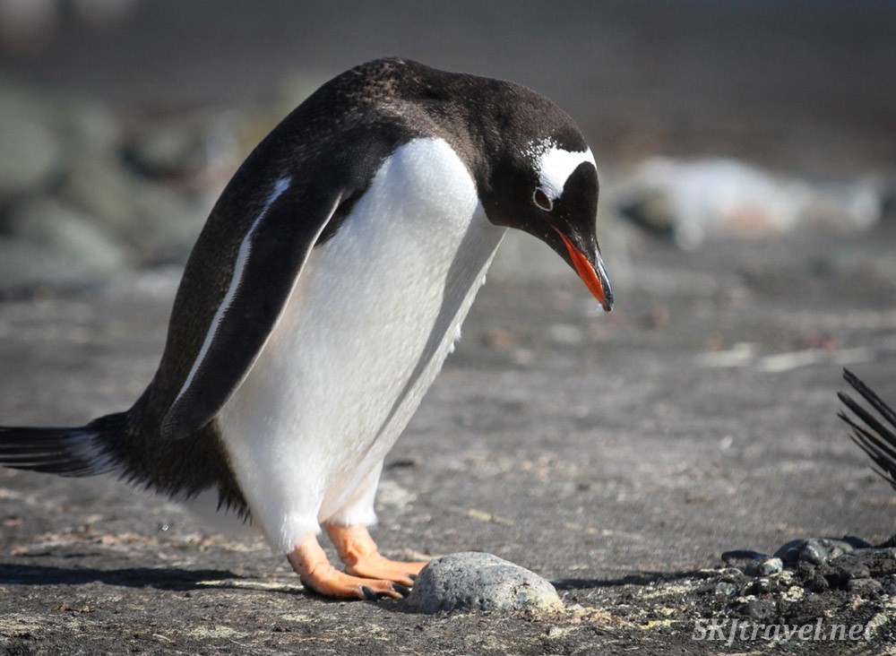 Gentoo penguin contemplating adding the stone of the century to his nest. Antarctica.