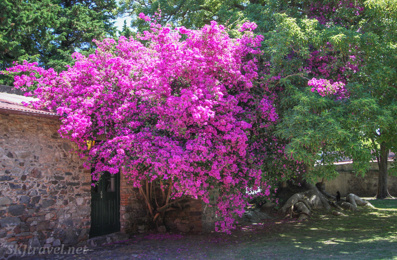 Pink flowering bougainvillea trees populate the streets of Colonia del Sacramento, Uruguay.  At an art gallery with a kitty in the yard.