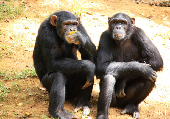 Sarah and Pearl, chimpanzees at the UWEC, Uganda.