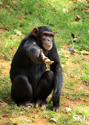 Pearl the chimpanzee at the UWEC, Uganda.