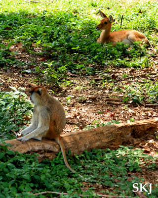 Patas monkey and oribi at the UWEC, Uganda.