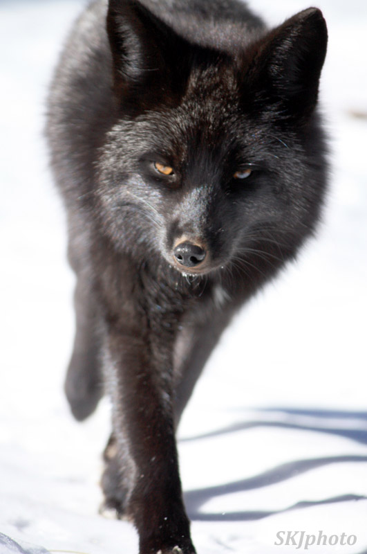 Silver fox running toward me in the snow in my backyard, Nederland, Colorado.