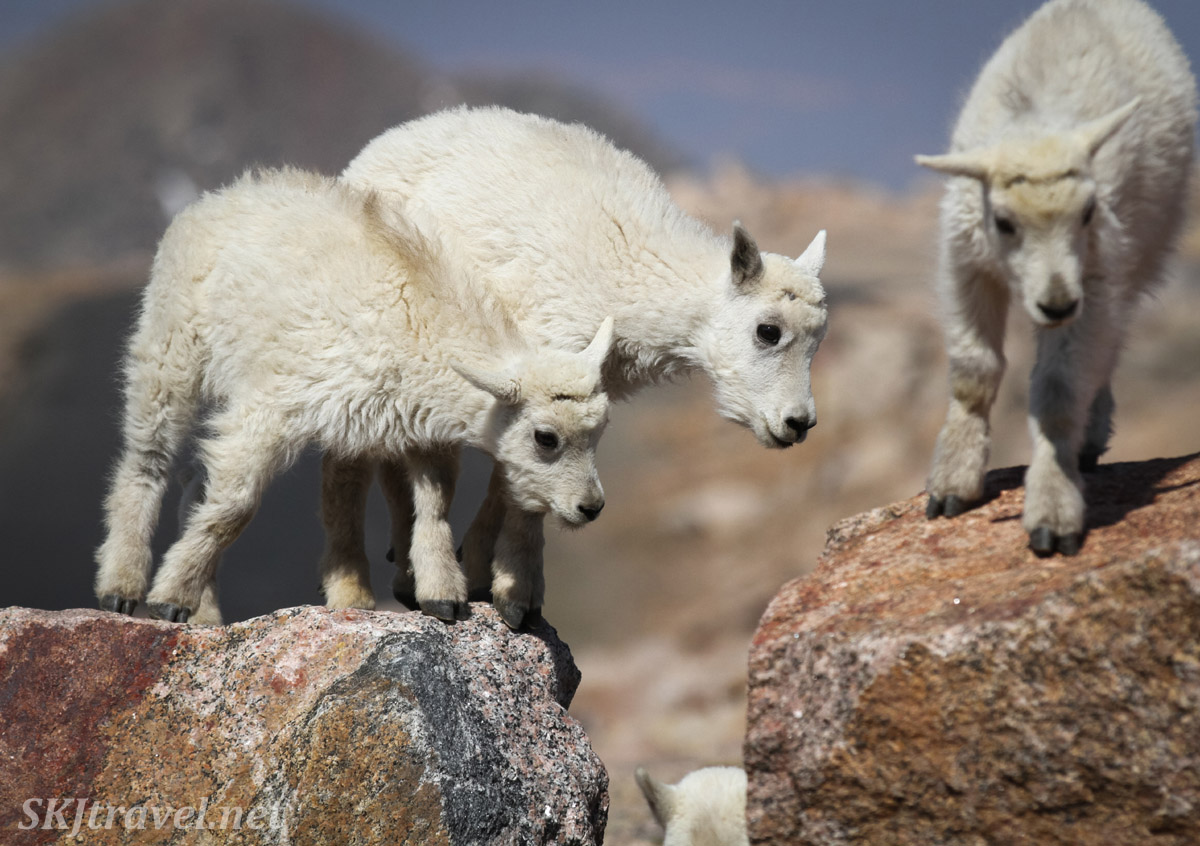 Baby mountain goat trio at the top of Mount Evans, Colorado.