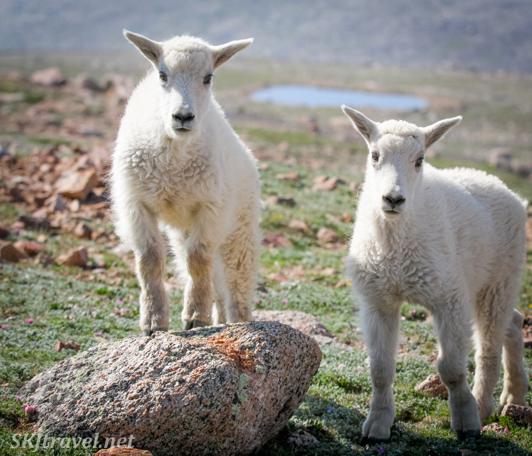 Baby mountain goat pair at the top of Mount Evans, Colorado.