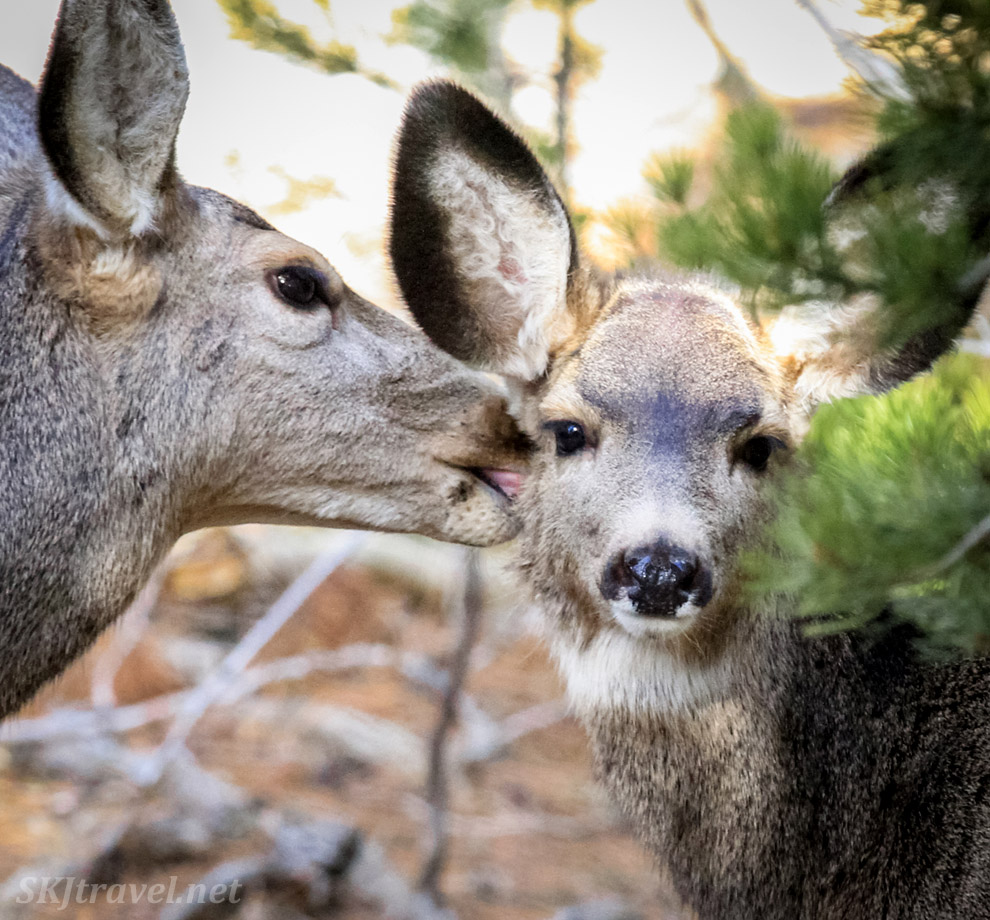 Mother mule deer washing her baby's face in my backyard, Nederland, Colorado.