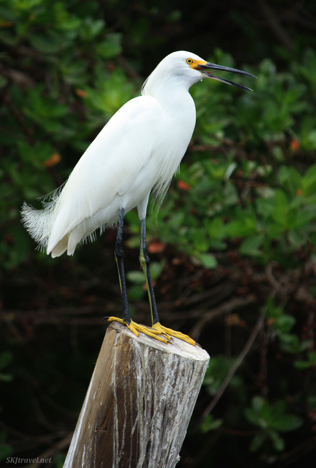 A white bird with yellow feet and beak stands in a cut-off wood stump with dark green background at a wilidlife santuary in Mexico. Photo by Shara Johnson