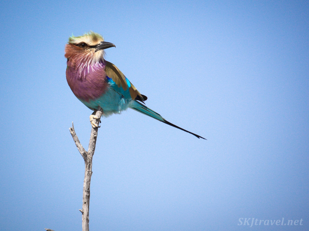 Lilac breasted roller against a blue sky, Etosha national park, Namibia.