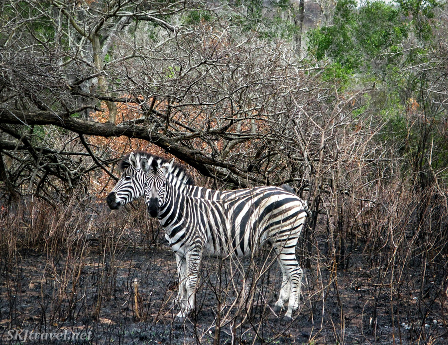 Pair of zebras in Hluhluwe-iMfolozi National Park, South Africa.