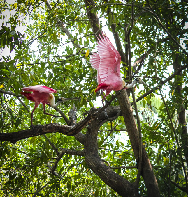 Two spoonbill birds, one chasing the other, taking off for flight in the dense foliage of the crocodile sanctuary in Ixtapa, Mexico.
