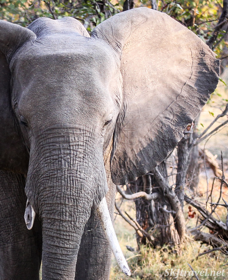 Ear of an elephant in Moremi game reserve, Botswana.