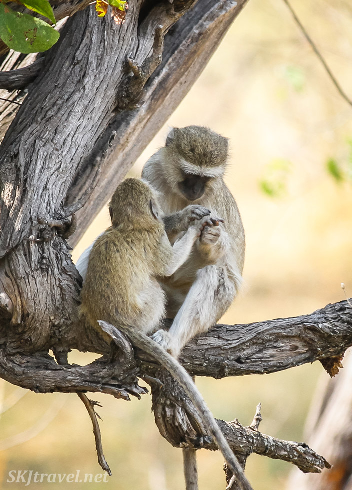 Vervet monkeys in a tree, Moremi game reserve, Okavango Delta, Botswana. Mother monkey holding her child's hand in hers.