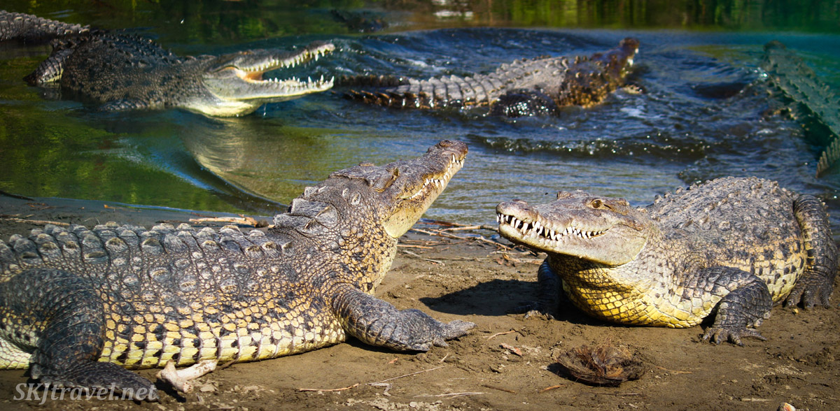 Crocodiles sunning themselves and chasing one another inside the crocodile pit, the Popoyote Wildlife sanctuary, Ixtapa, Mexico.