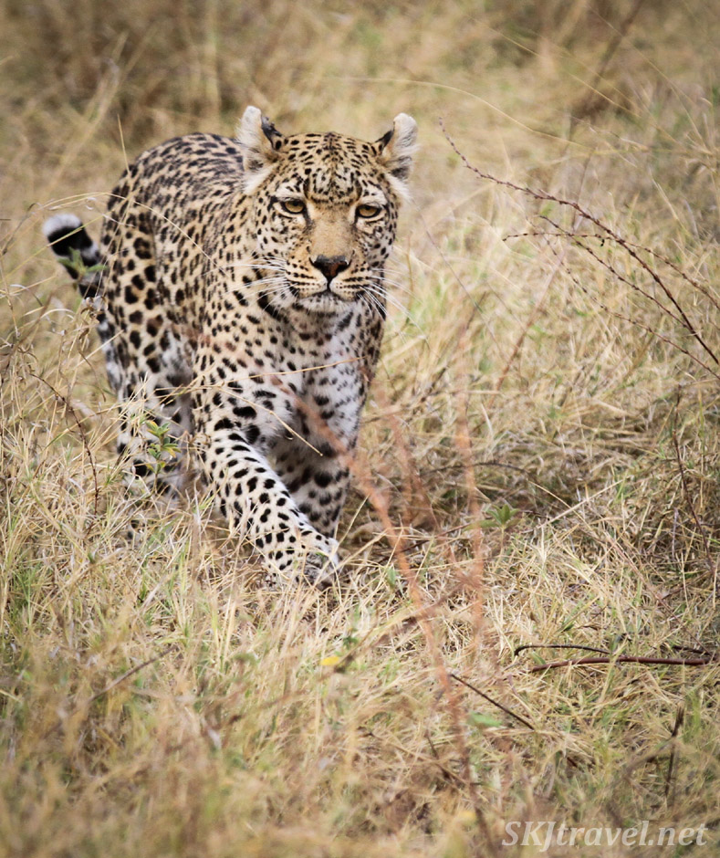 Female leopard walking toward me through the weeds in Khwai Concessions, Botswana. Leopardess.