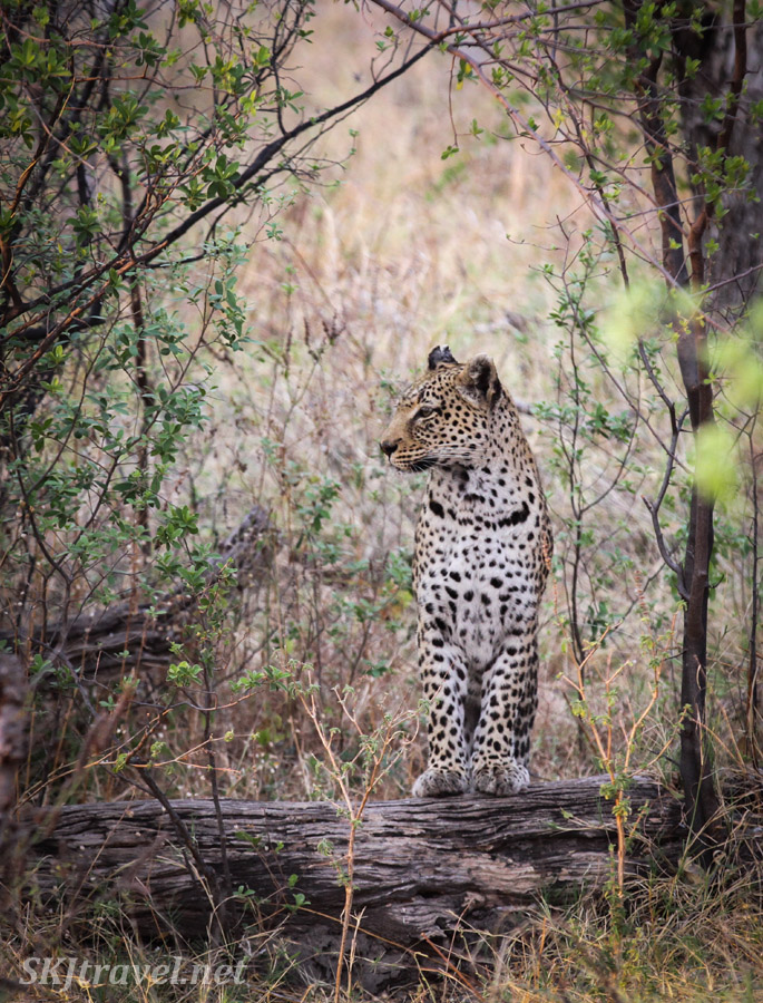 Female leopard emerges from the bushes in Khwai Concessions, Botswana. Leopardess.