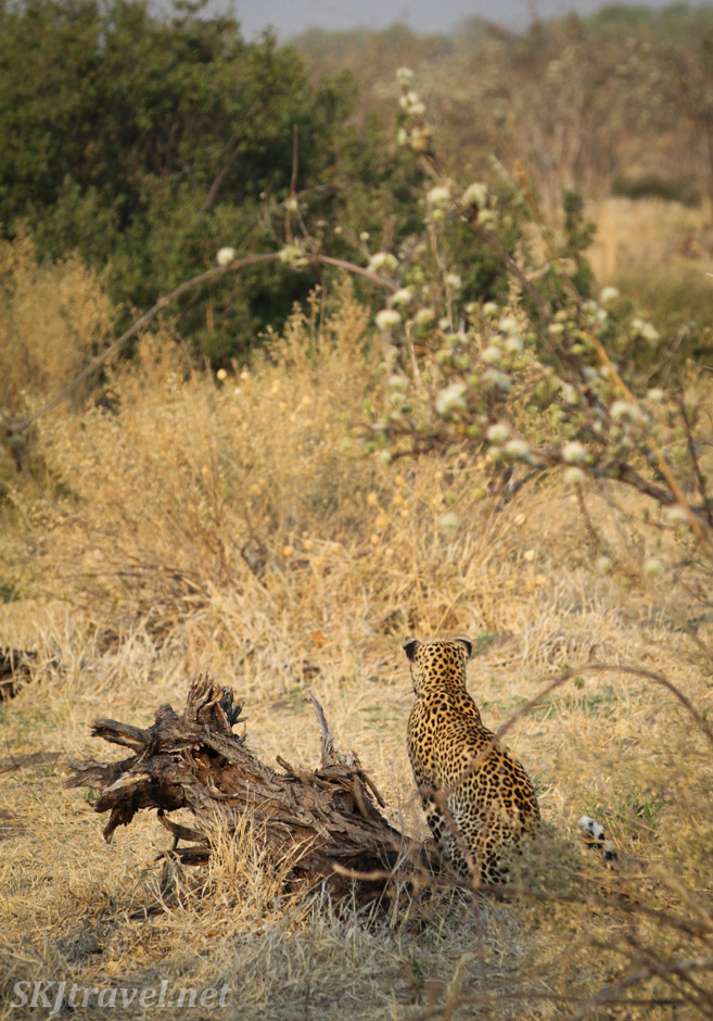 Female leopard sitting in the bushes watching an impala in Savuti, Botswana. Leopardess.