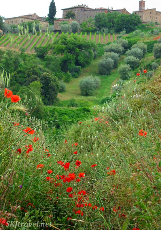 Spring fields of grapes, olives and red poppies in Tuscany ... Montalcino Italy.