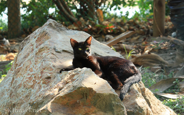 Black cat sits on a rock inside crocodile sanctuary. Photo by Shara Johnson